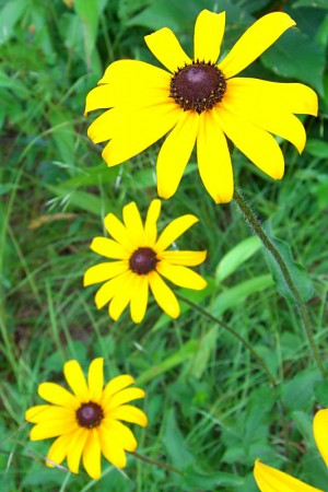 A Black-Eyed Susan is a plant native to the Chesapeake Bay region. Photo credit: Jason Hollinger