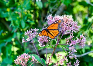 Monarch butterfly on Joe-Pye weed